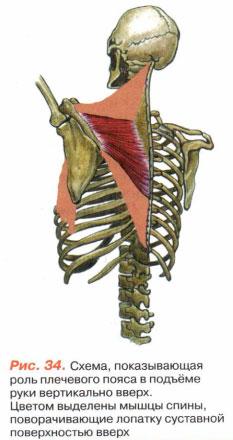 Рис 34 Схема роль плечевого пояса