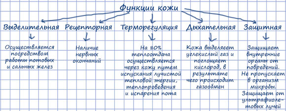 Схема Функции кожи
