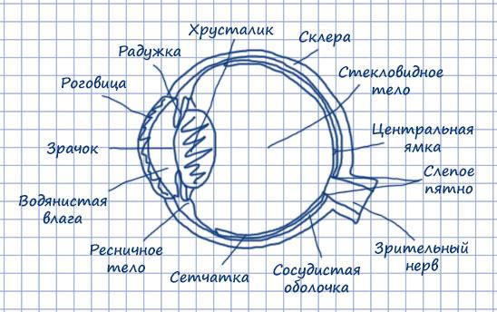 Схема глазного яблока